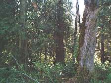 centennial trail forest picture
